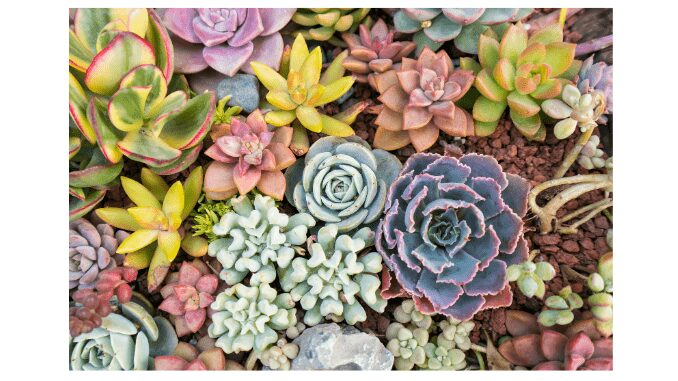 Types of low light succulents